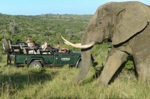 Elefant vid jeep Kariega Game Reserve