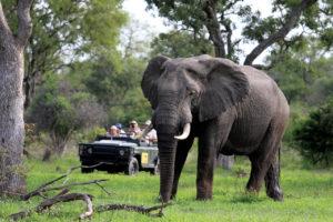 Nära en elefant i Krugerparken